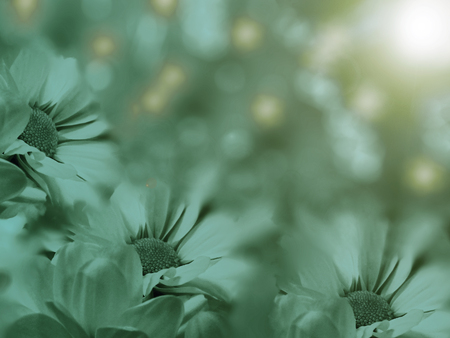 turquoise flowers chamomile on a  blurred  background. floral composition. floral background.  Nature.