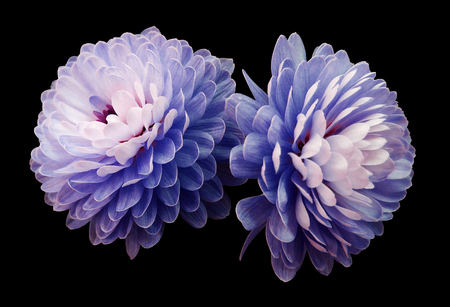blue-pink flowers  chrysanthemum.  black  isolated background with clipping path. Closeup no shadows. For design. Nature. Stock Photo