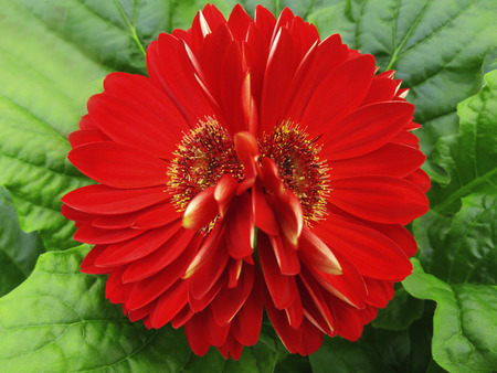 gerbera  flowers red.  Closeup.  beautiful  two  flower.  green background.  Nature.