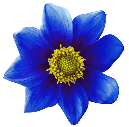 Dahlia flower  blue, white isolated background with clipping path.   Closeup.  no shadows.  For design. eight petals.  Nature.