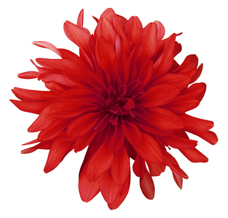 Dahlia red flower white background isolated with clipping path. Closeup. with no shadows. Nature.