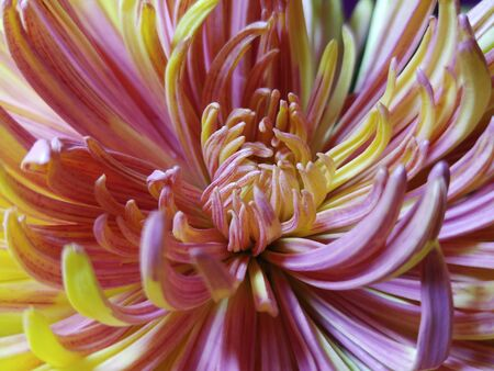 Chrysanthemum flower macro blurred yellow pink background flower chrysanthemum flower macro yellow pink flower disbands in the sun for design mightylinksfo Image collections