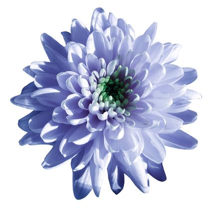 Blue white flower chrysanthemum garden flower white isolated blue white flower chrysanthemum garden flower white isolated background with clipping path mightylinksfo