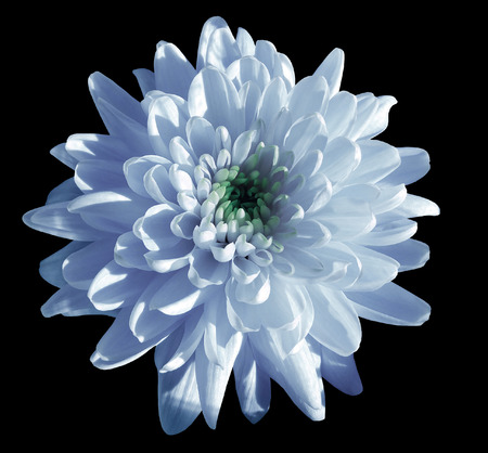 blue-white flower chrysanthemum, garden flower, black  isolated background with clipping path.  Closeup. no shadows. green centre. Nature.