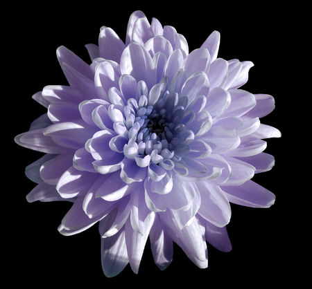 violet flower chrysanthemum, garden flower, black  isolated background with clipping path.  Closeup. no shadows. blue centre. Nature.