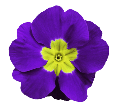 violet violets flower white isolated background with clipping path. Closeup. no shadows. For design. Nature.