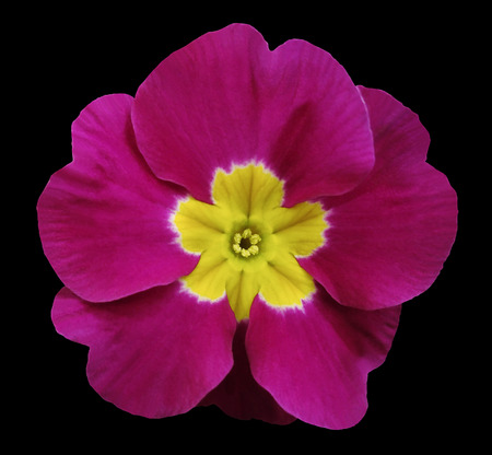 yellow stamens: pink violets flower black isolated background with clipping path. Closeup. no shadows. For design. Nature.  Stock Photo
