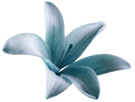 lily white tuequoise flower.  isolated  with clipping path on a white background. beautiful lily.  for design. Closeup.