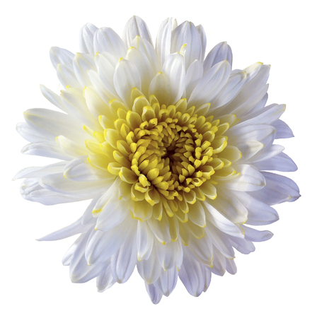 white flower chrysanthemum, garden flower, white  isolated background with clipping path.  Closeup. no shadows. yellow centre. Nature.