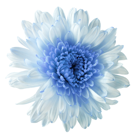 white-blue flower chrysanthemum, garden flower, white  isolated background with clipping path.  Closeup. no shadows. blue centre. Nature.