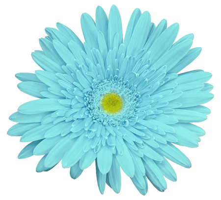 Turquoise gerbera flower, white isolated background .   Closeup.  no shadows.  For design.  Nature.