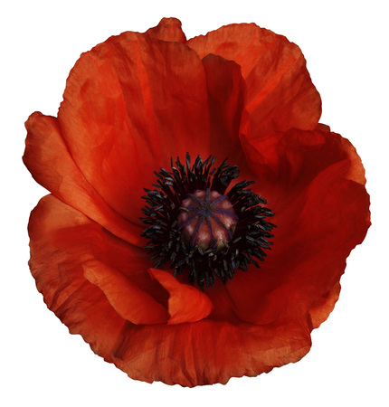 Red poppy flower on a white isolated background with clipping red poppy flower on a white isolated background with clipping path closeup no shadows mightylinksfo