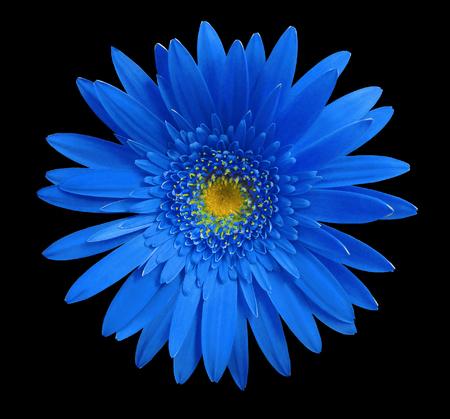Fleur De Gerbera Bleu Sur Fond Isole Noir Avec Un Trace De Detourage