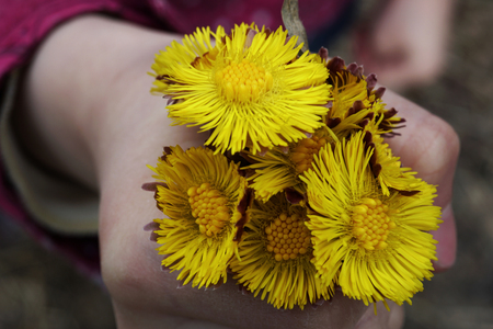 The first spring yellow flowers of mother-and-stepmother. A bouquet of flowers in his hand. Close-up. Nature. Stock Photo