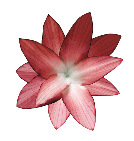 Red-white flower.  White isolated background with clipping path.   Closeup.  no shadows.  For design.  Nature.