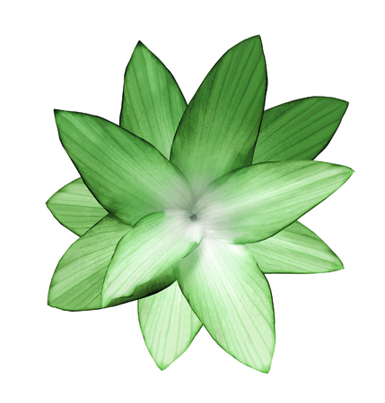 Green-white flower.  White isolated background with clipping path.   Closeup.  no shadows.  For design.  Nature. Stock Photo