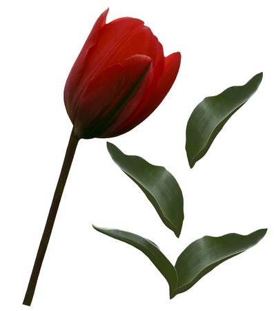 Red tulip flower and green leafs  on a white isolated background with clipping path.   Closeup.  no shadows.  For design. Side view.  Nature.