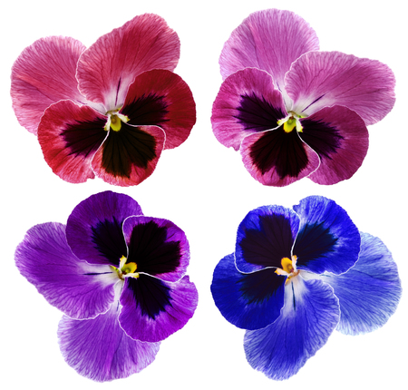 Set Pansy flower on a white isolated background with clipping path.  Closeup no shadows.  Nature.
