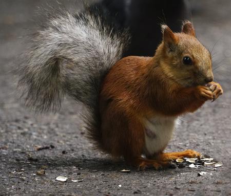 リスは、公園内のパスに座っています。ふわふわの尾の赤リスは、種子をかじる。クローズ アップ。自然。