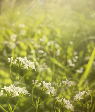Flowers forest. Floral beautiful background. White flowers bloom in a clearing in the sunshine at sunset on a summer day. Nature.