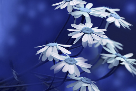 White Blue Daisies Bloom On A Sunny Summer Day Beautiful Floral Background Of