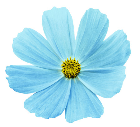 Turquoise flower Kosmeja white isolated  background  with  clipping path.  No shadows. Closeup.   Nature.  Stok Fotoğraf