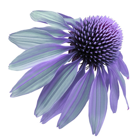 Flower violet-turquoise Chamomile on a white isolated background with clipping path. Daisy purple for design.  Closeup no shadows. Nature.