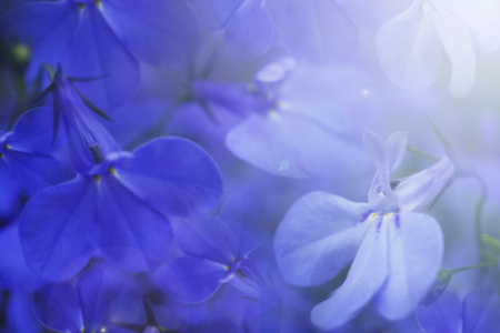 Floral blue beautiful background. Blue flowers close-up in the sunlight.  Soft focus. Nature. Stock Photo