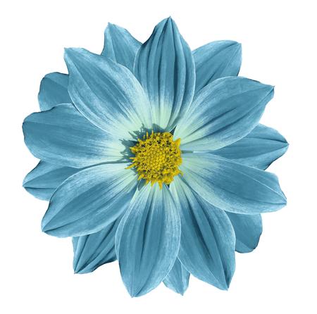 - Margarita de flor amarillo turquesa sobre un fondo blanco aislado