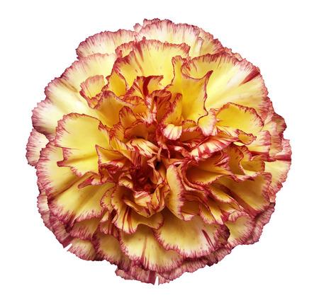 Florezca el clavel amarillo-rojo en un fondo aislado blanco con el camino de recortes. De cerca. Sin sombras Para el diseño. Naturaleza. Foto de archivo