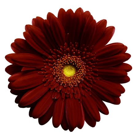 Dark red    gerbera flower, white isolated background with clipping path.   Closeup.  no shadows.  For design.  Nature.