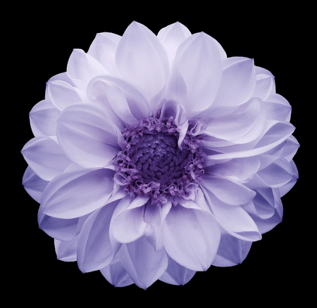 Spring white-violet flower dahlia on the black isolated background with clipping path. Closeup. Nature.