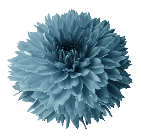 Turquoise dahlia. Flower on a white isolated background