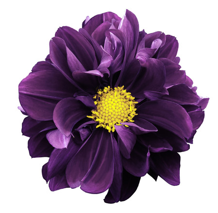 Violet dahlia. Flower on a white isolated background