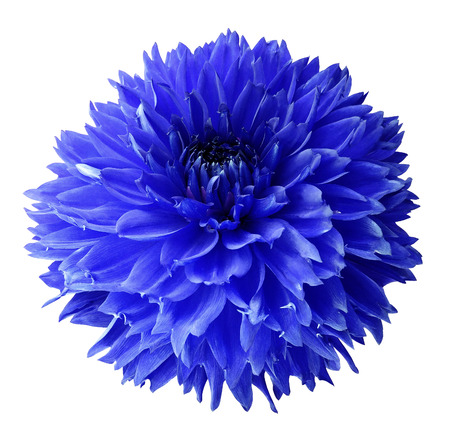 Blue dahlia. Flower on a white  isolated background with clipping path.  For design.  Closeup.  Nature. Reklamní fotografie - 92786320