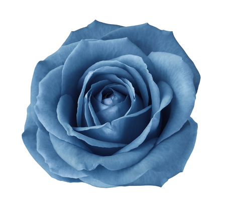 Blue rose on a white isolated background with clipping path.  no shadows. Closeup. Nature. Stockfoto