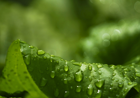 Green big leaves after the rain.  Closeup.  Spring  green background. Nature.