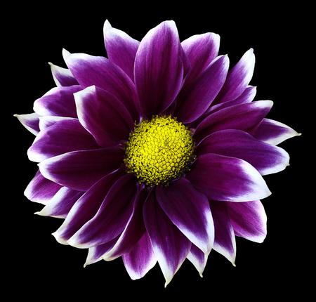Chrysanthemum bright purple white flower on isolated black chrysanthemum bright purple white flower on isolated black background stock photo 99169151 mightylinksfo