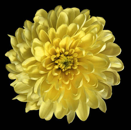 Chrysanthemum  yellow. Flower on  isolated  black background with clipping path without shadows. Close-up. For design. Nature.