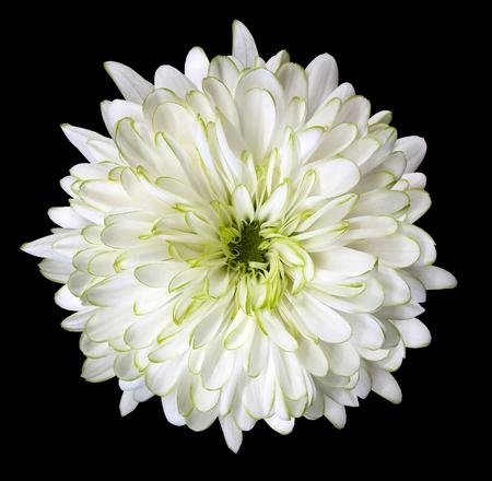 White flower chrysanthemum garden flower black isolated background white flower chrysanthemum garden flower black isolated background with clipping path closeup mightylinksfo