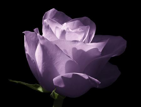 Paarse roos. Bloem op een geïsoleerde zwarte achtergrond. Detailopname. Schot van lichtblauwe bloem. Natuur.