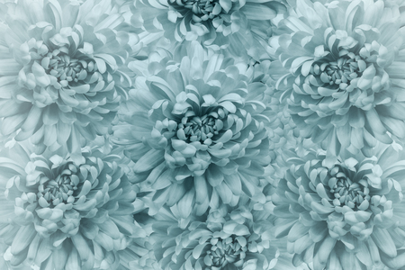 Floral light turquoise beautiful background.  Flower composition. Bouquet of flowers from  turquoise chrysanthemums. Close-up. Nature.