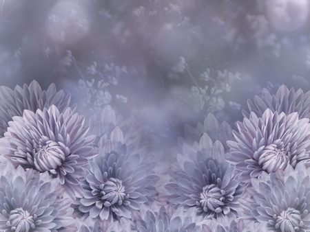 Flowers  on blurry pink-purple background bokeh. Blue-violet  flowers chrysanthemum.  Floral composition. Nature.