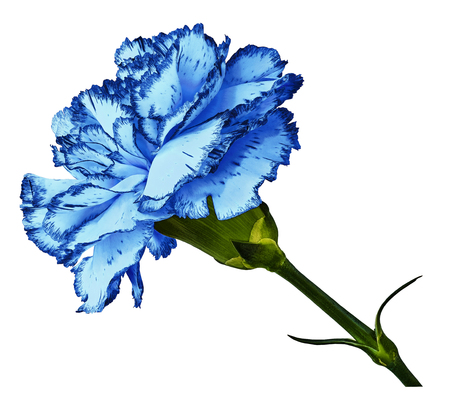 Blue carnation.  Flower  on  t a white  isolated background with clipping path. Close-up. no shadows. Shot of  red-white clove flower. Nature. 写真素材 - 101364316