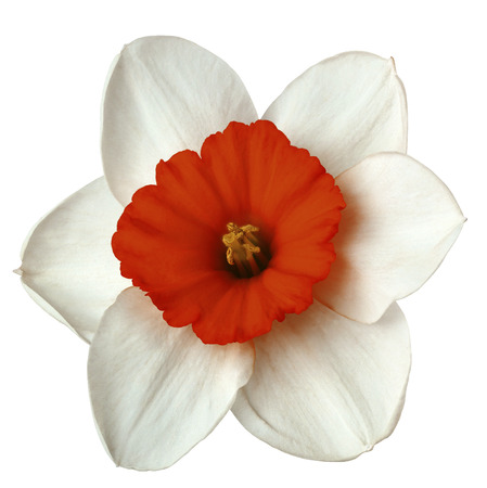 Flower white-red  narcissus on a white isolated background