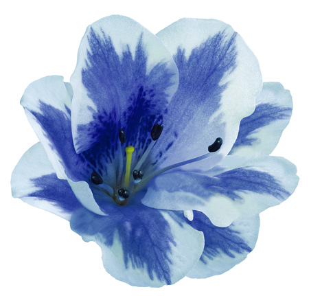 White-blue  flower  lily on  a white isolated background with clipping path  no shadows. Closeup.  Nature. 版權商用圖片