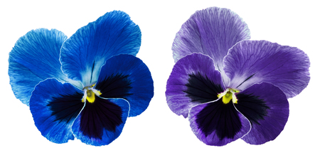 Pansies blue and violet flower on a white isolated background with clipping path. Closeup no shadows. Nature.