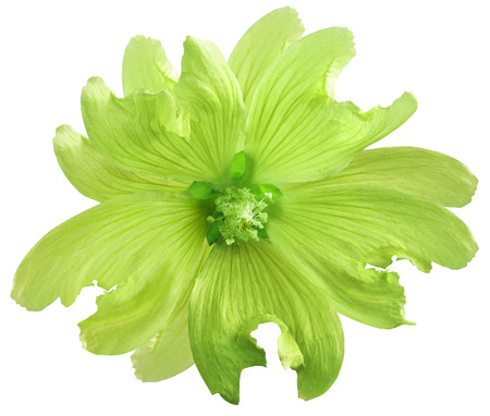 Green wild mallow flower  on a white isolated background with clipping path. Closeup. Element of design.  Nature.