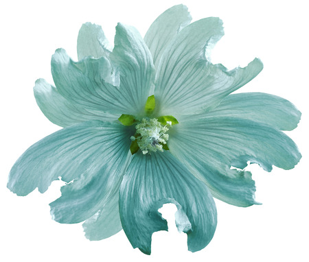 Turquoise wild mallow flower  on a white isolated background with clipping path. Closeup. Element of design.  Nature. Stock fotó