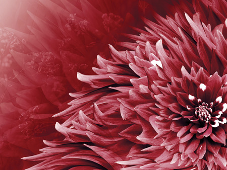 Floral red background. Flowers  dahlias close-up on a  light blue background.  Flowers composition. Nature.